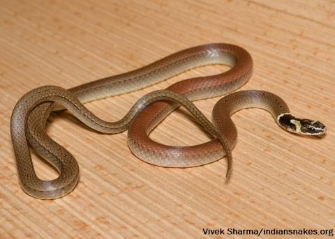 Dumeril's Black-headed Snake | Indiansnakes.org