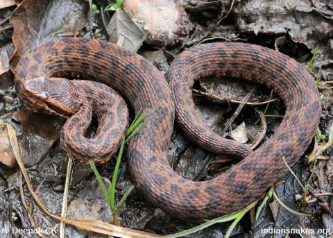 Image result for Himalayan pit viper